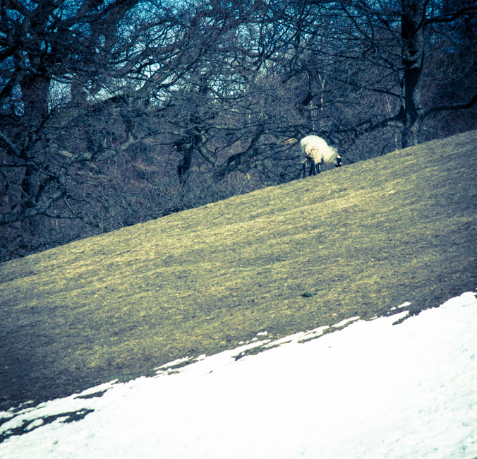 Rivington Sheep