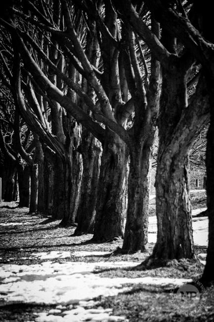 Rivington Trees