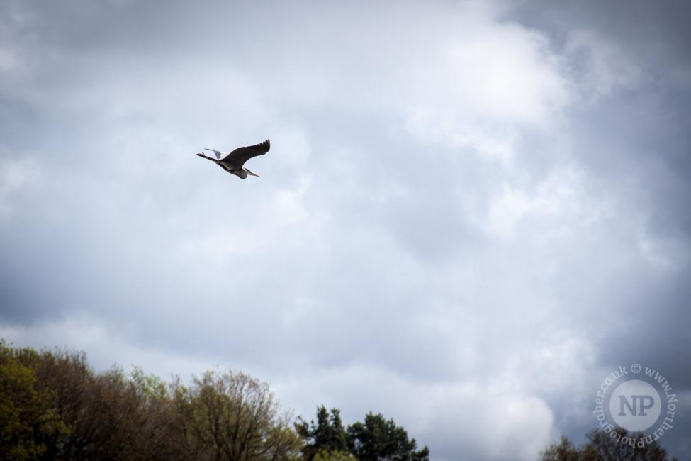 Leeds/Liverpool Canal Heron