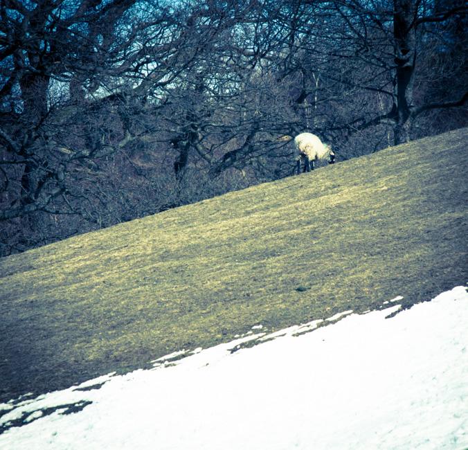 Rivington Sheep